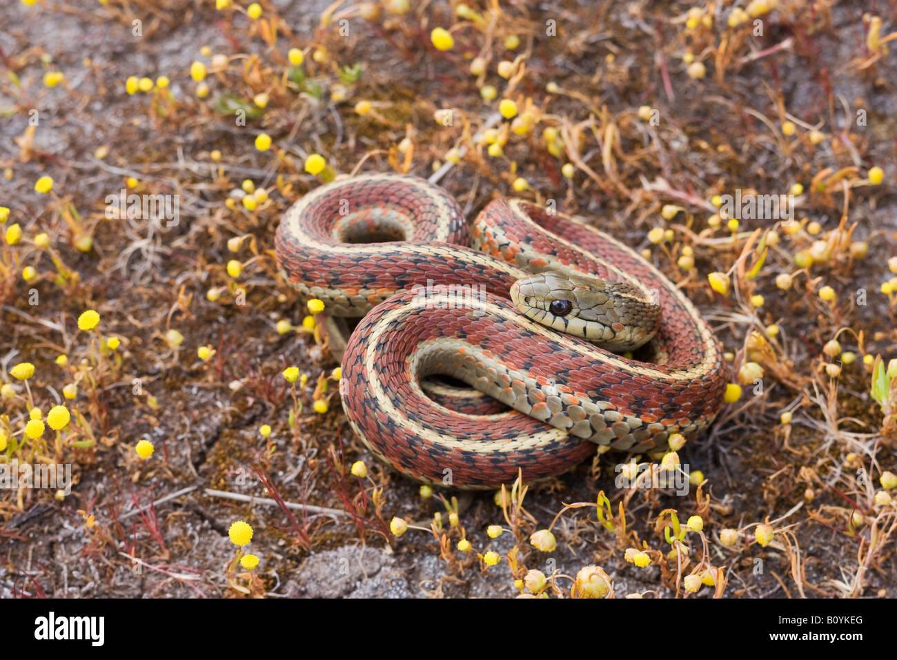 Costa Garter Snake Thamnophis elegans terrestris California Estados Unidos Imagen De Stock