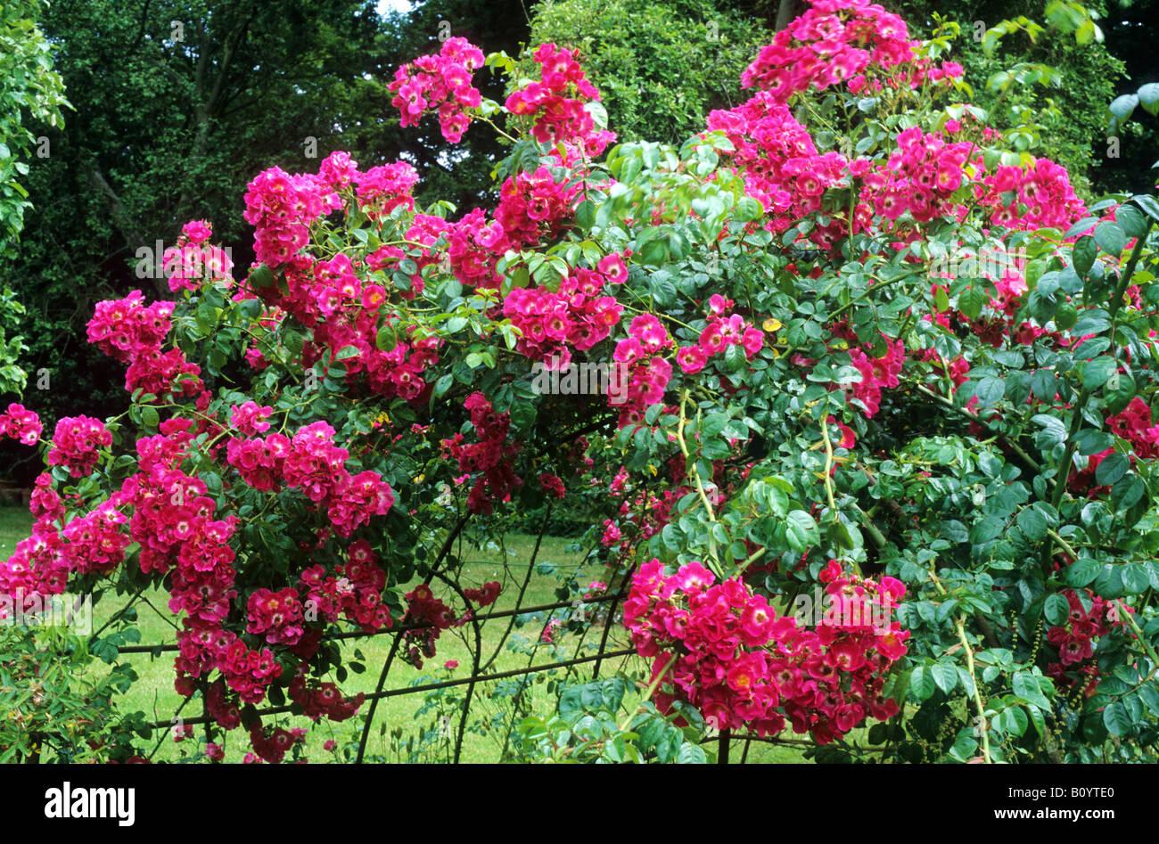Rosa \'pilar americano\' en el marco de metal rojo rambler Rambling ...