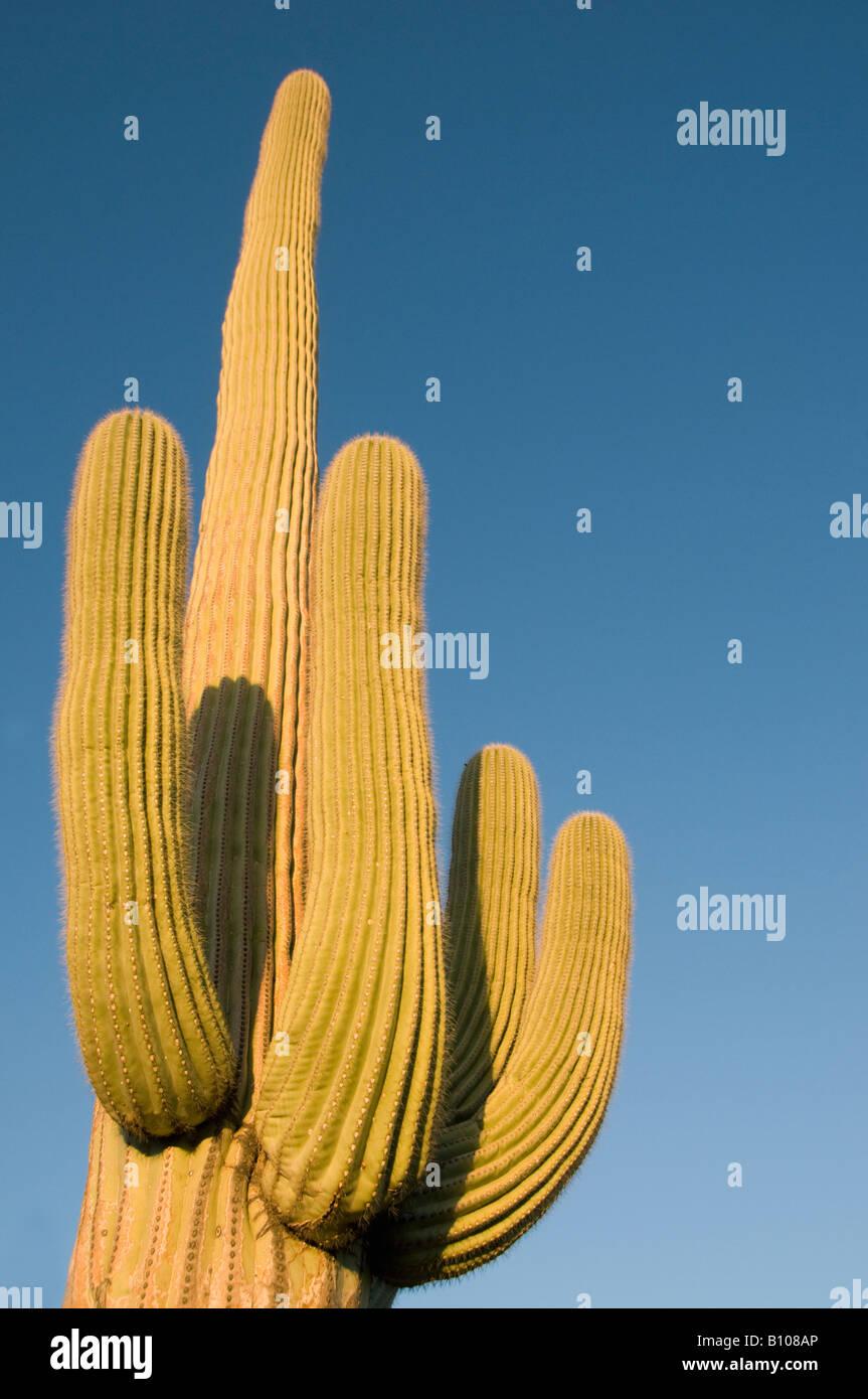 Cacto Saguaro (Carnegiea gigantea) Sunset, el Parque Nacional de Saguaro, Tucson, Arizona Imagen De Stock