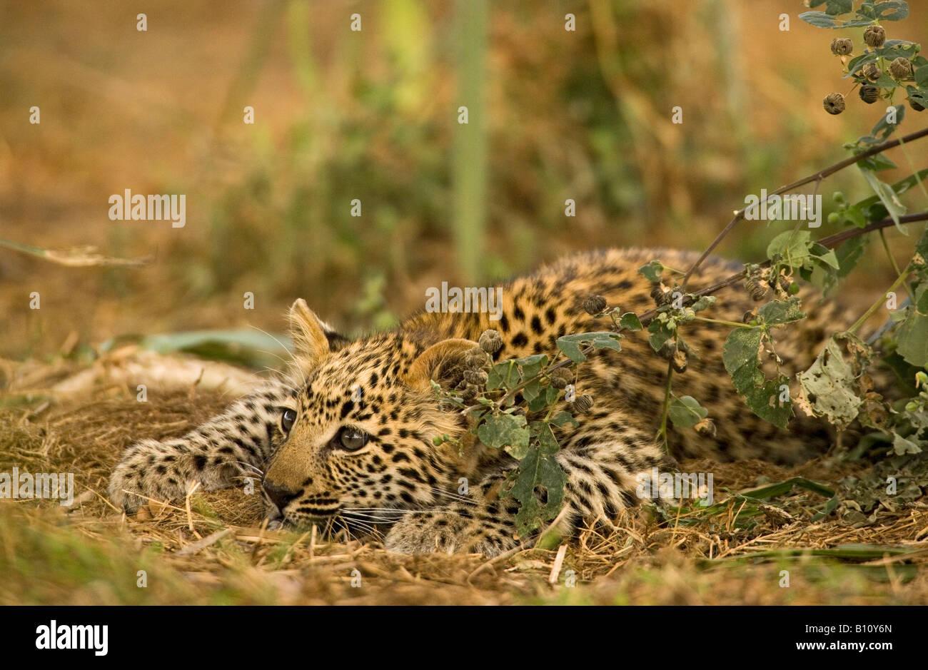 Closeup lindo bebé Leopard cub jugando en cuclillas observando atentamente listo para saltar por green bush enfrentan en la luz del sol hermosa luz de fondo suave Foto de stock