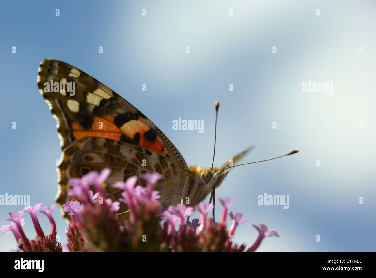 Painted Lady Butterfly (Vanessa cardui) nectaring en Verbena bonariensis flor Foto de stock