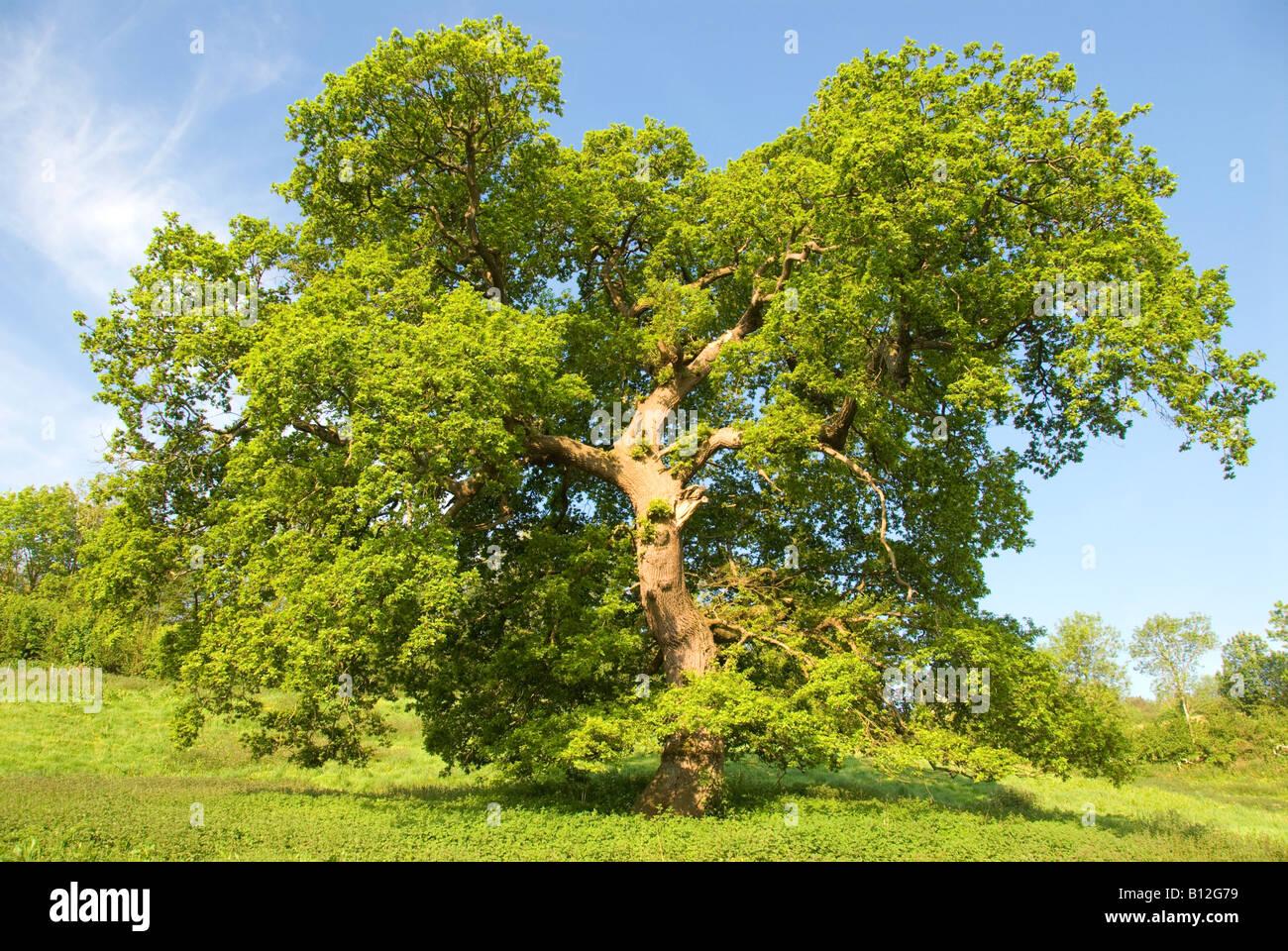 Un árbol de roble en la campiña inglesa Imagen De Stock