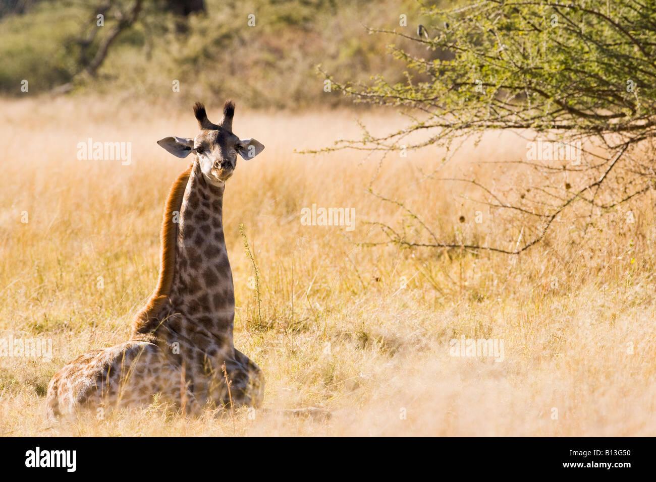 Retrato de bebé jirafa, Giraffidae, sentado en un campo de hierba solo busca personas inocentes y vulnerables en la reserva de animales Moremi Okavango Delta Africa Foto de stock
