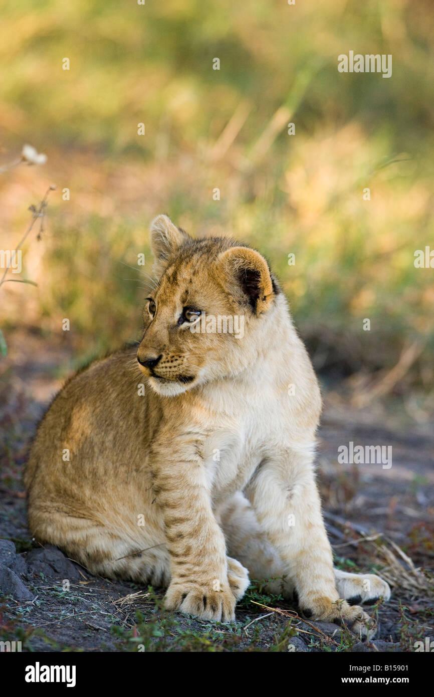 Cerrar un retrato detallado de un solo bebé lindo cachorro de león bright eyed sentado mirando alerta, un fondo suave, Panthera leo Delta del Okavango Botswana Foto de stock