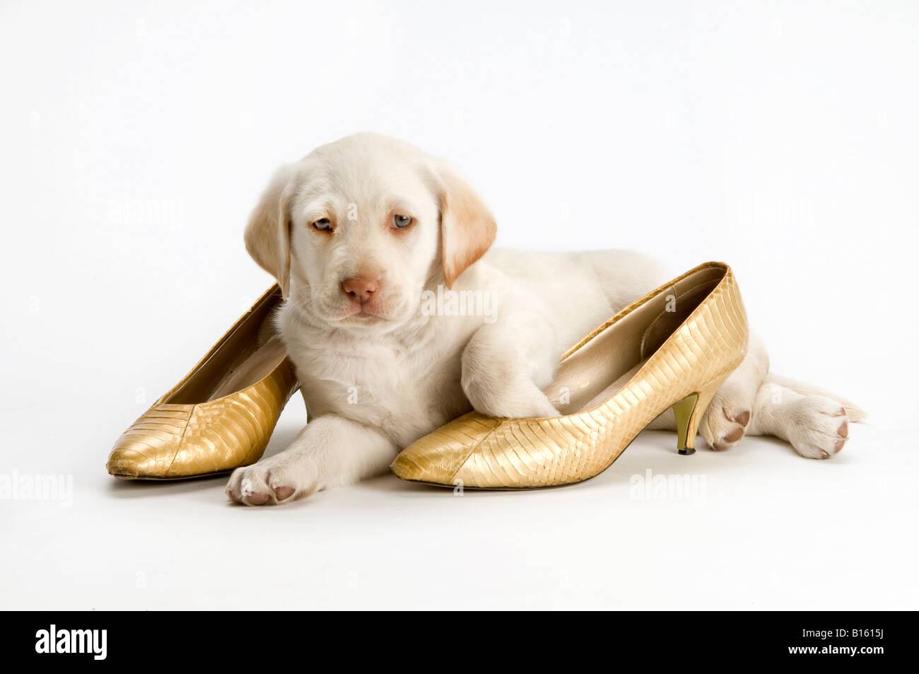 Cachorro Labrador amarillo blanco con zapatos de oro sobre fondo blanco. Imagen De Stock
