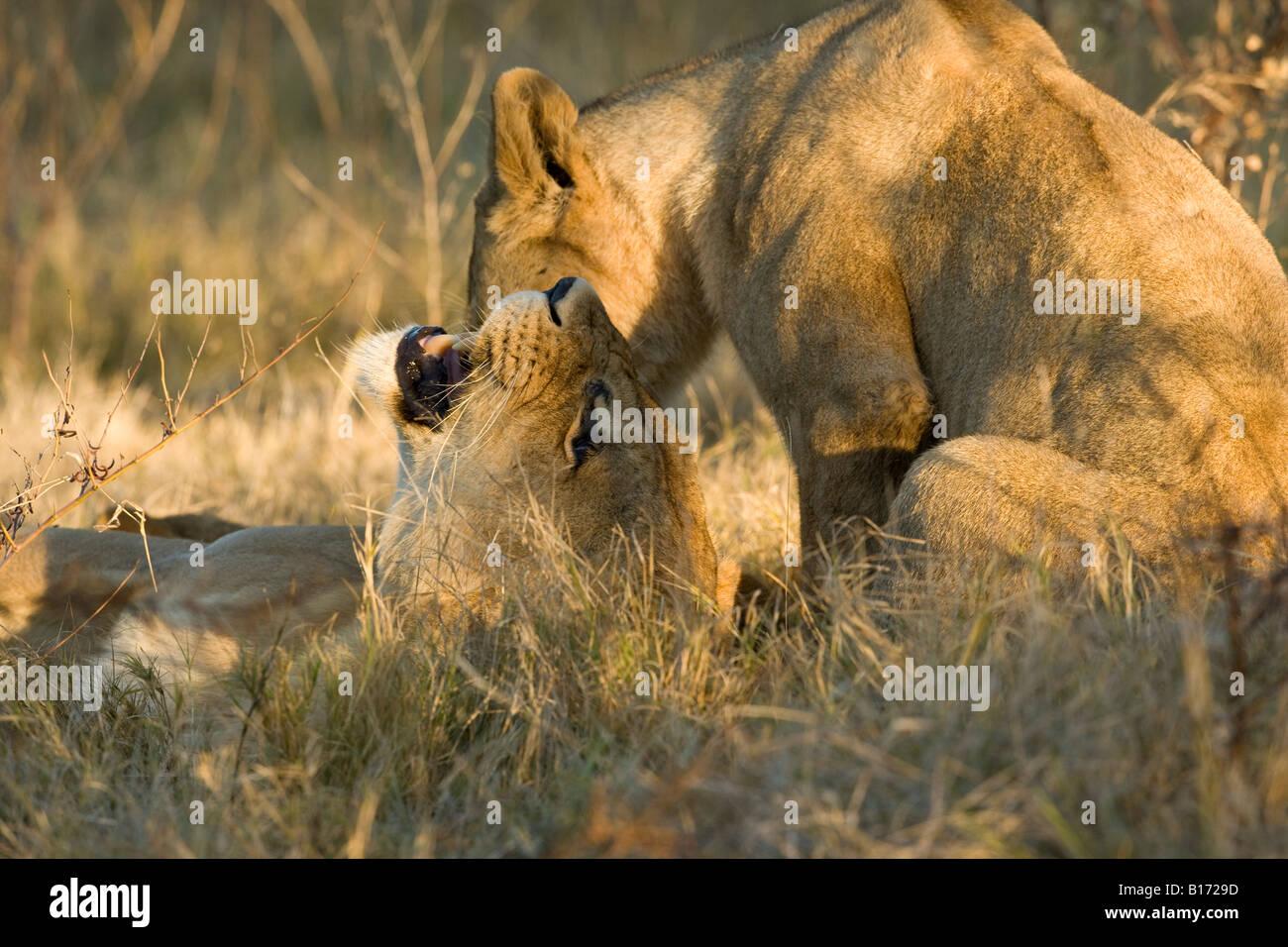 Close-up Ver perfil expresivo gruñendo madre recostada sobre León regaño atrás hablando con bebé león sentado con la cabeza hacia abajo cerca de su boca abierta Botswana Foto de stock