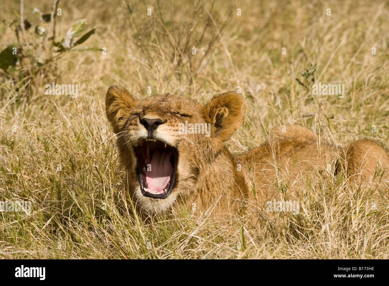 Closeup funny baby cachorro de león boca abierta hablando entrecerrar la boca abierta mostrando los dientes cantando o diciendo Ahh tumbado en el césped un fondo suave Foto de stock