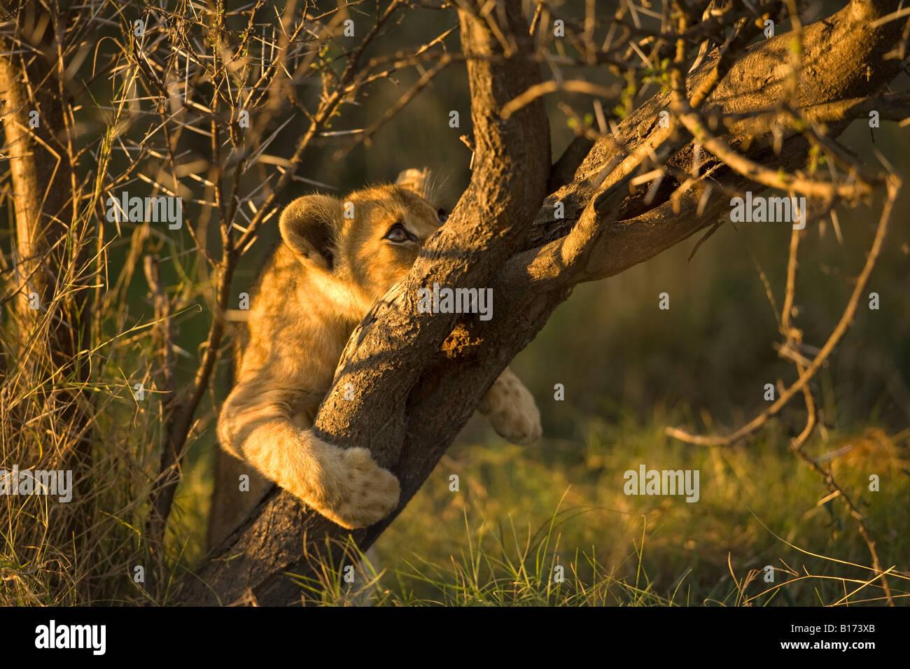Cachorro de león, Panthera leo, lindo bebé travieso jugando en Acacia en el Delta del Okavango, Botswana Foto de stock