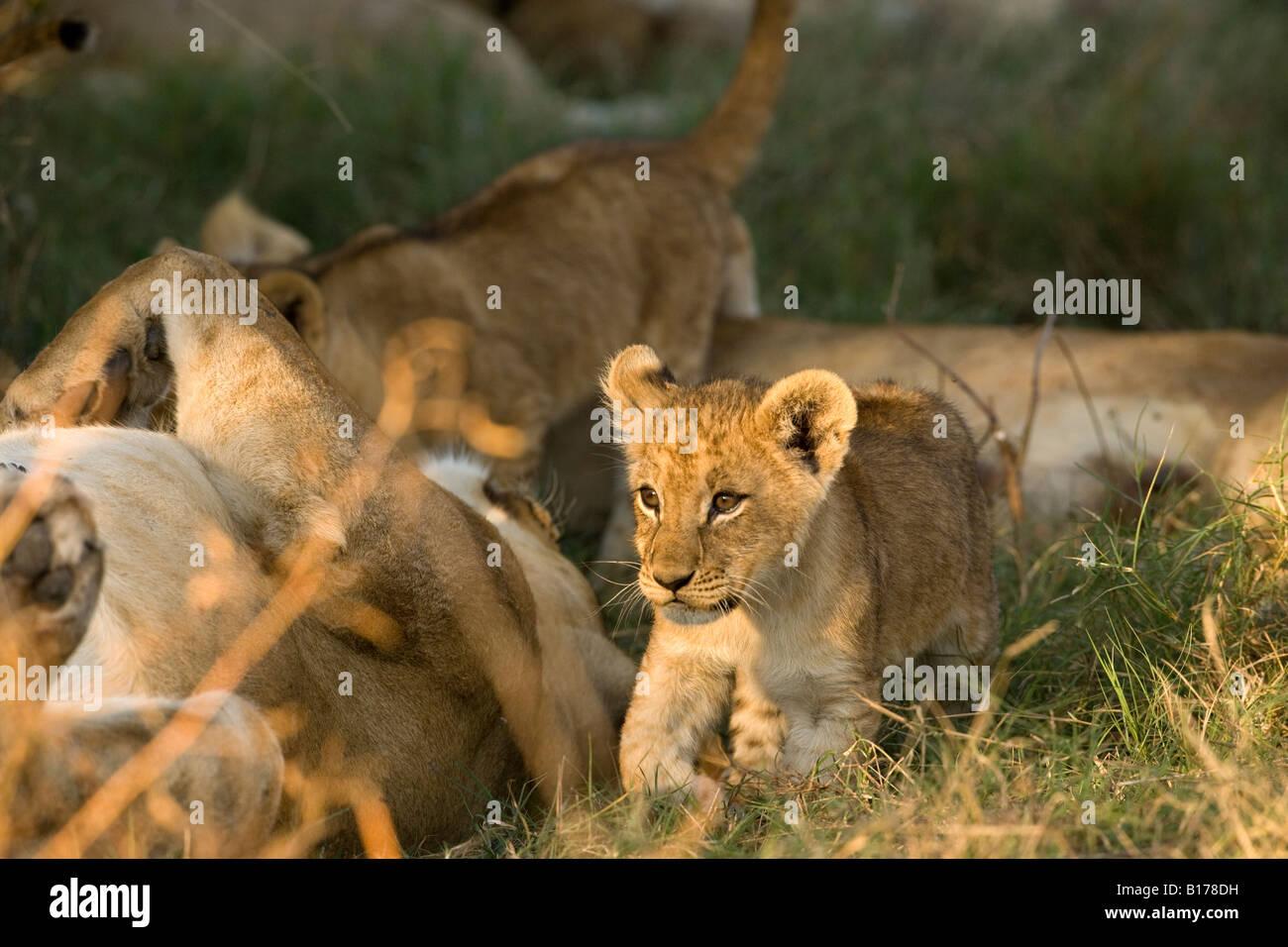 Closeup diminuto bebé salvaje lindo cachorro de león, la pierna levantada, caminar iluminada por la cálida luz del atardecer en la pasto verde junto a gran madre león durmiendo sobre su espalda Botswana Foto de stock