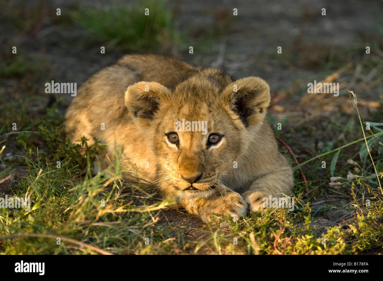 Closeup wild bebé cachorro de león, lindo y juguetón alerta inocente rostro iluminado por el sol tumbado en la hierba paws juntos listos para abalanzarse Moremi Delta del Okavango Botswana Foto de stock