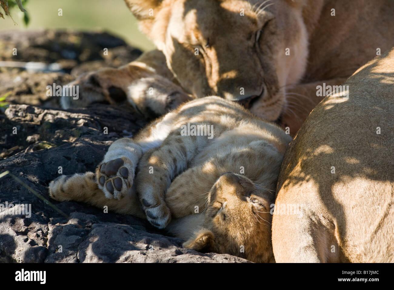 Paisaje cerca de la madre y el bebé pequeño león, cub durmiendo en patas traseras envueltos juntos tocando mum sol de cara Panthera leo Maasai Mara Kenya Foto de stock
