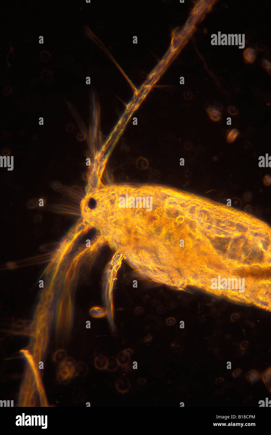 De copépodos planctónicos bajo microscopio óptico Copepoda Foto de stock