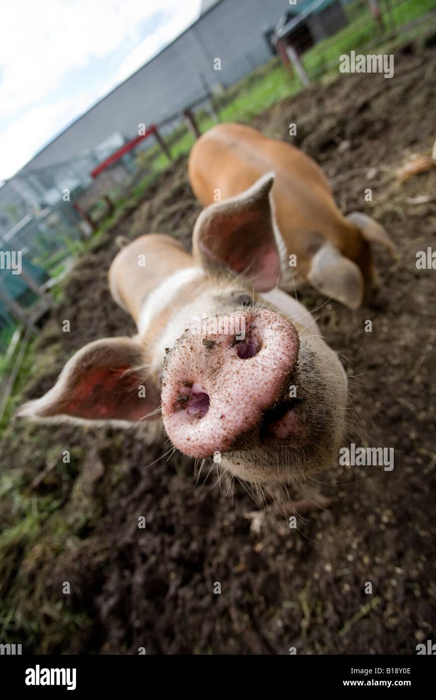 Animales en un zoológico de contacto CERDOS cerdos, Rougemont, Quebec, Canadá. Imagen De Stock