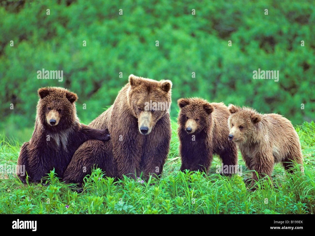 Oso pardo (Ursus arctos) madre con triplete yearling cubs, costera de Alaska. Imagen De Stock