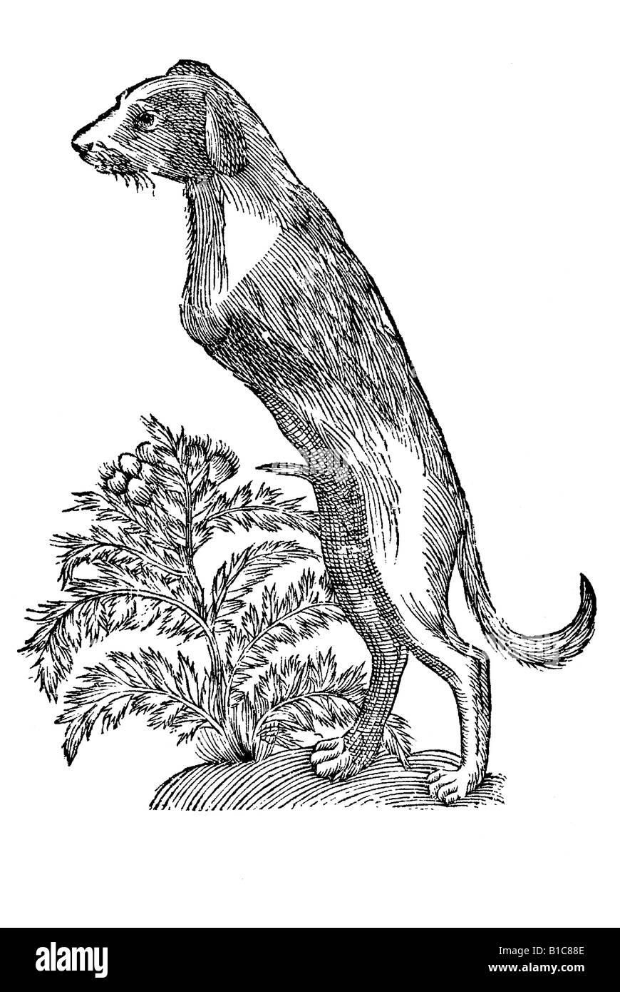 Canis bipes com Cynomazzo, Aldrovandi, 1642, siglo xvii, renacentista, Europa Foto de stock