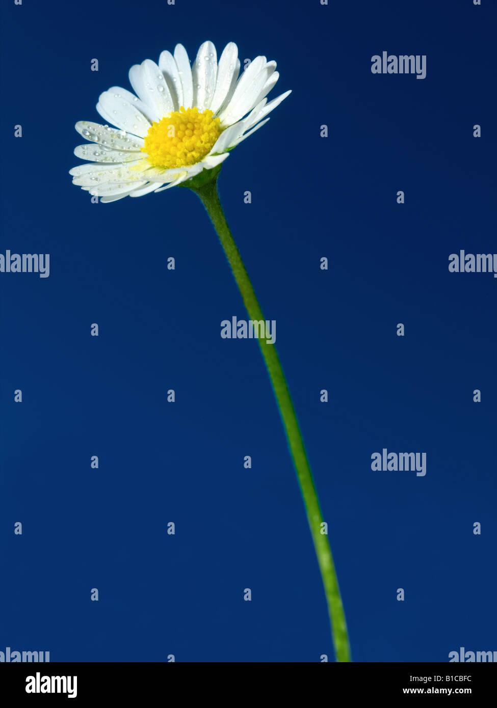 flor de la Margarita Imagen De Stock