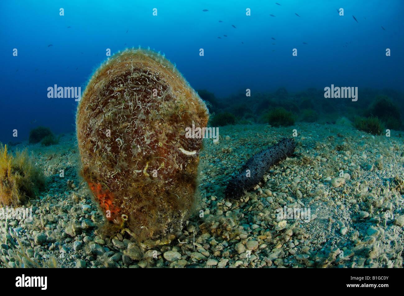 Shell pluma noble en el lecho marino, Pinna nobilis, Croacia Mar Adriático Mar Mediterráneo Imagen De Stock