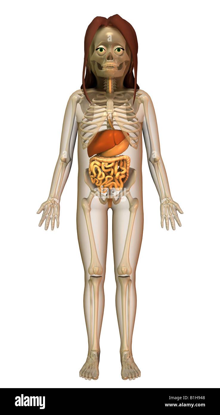 Anatomía del hígado colon estómago Foto & Imagen De Stock: 18205384 ...