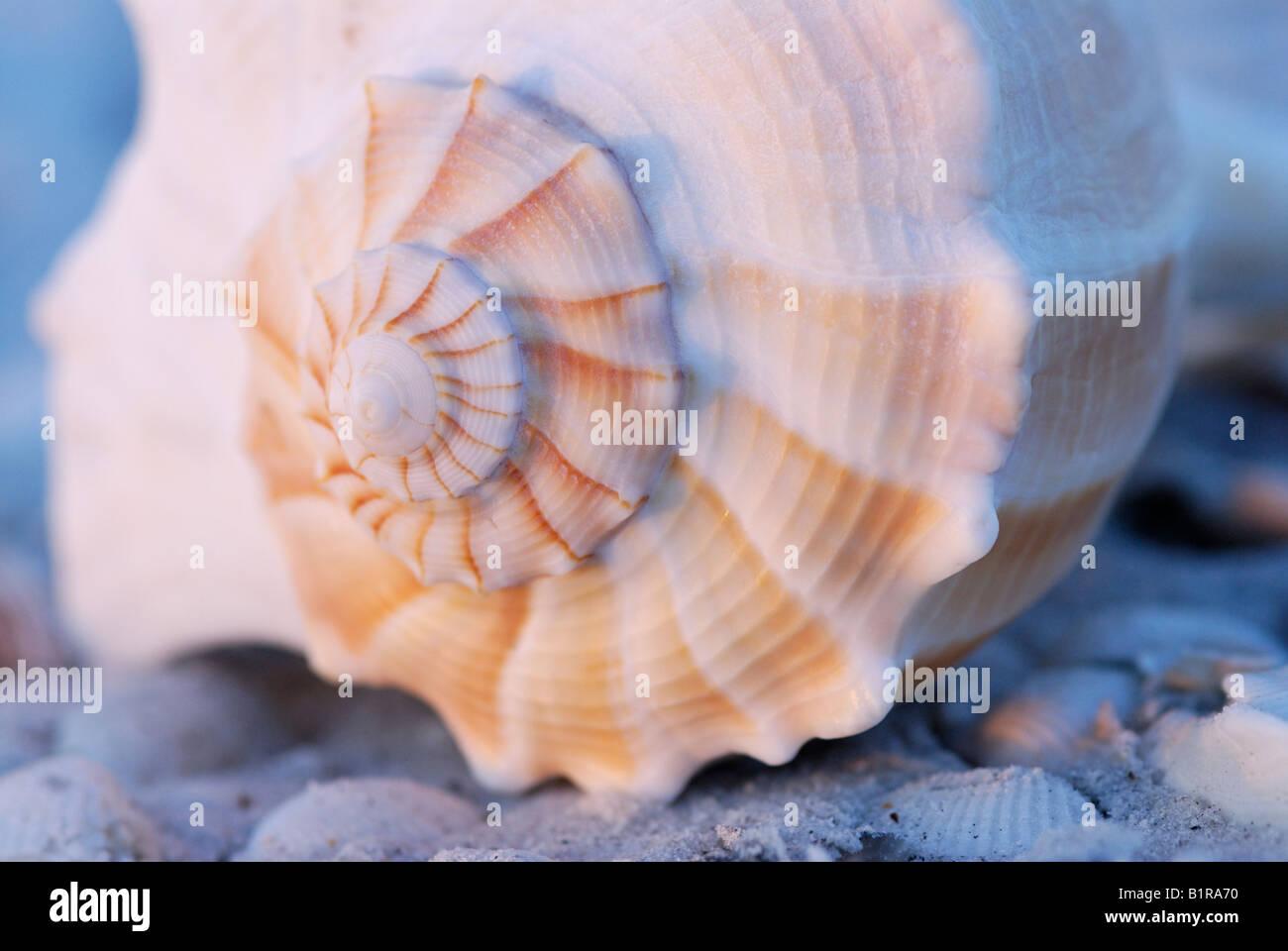 Rayo buccino Busycon contrarium shell cerca de apex espiral con luz del amanecer en Sanibel Island, Florida Imagen De Stock