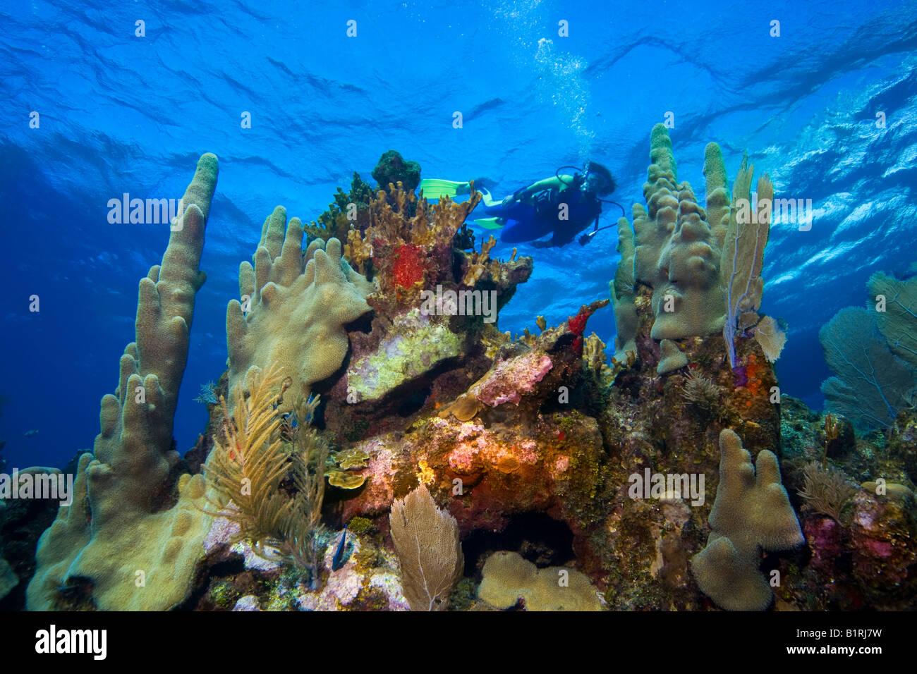 Buceo en aguas poco profundas, arrecifes de coral, el Caribe, Roatán, Honduras, América Central Foto de stock