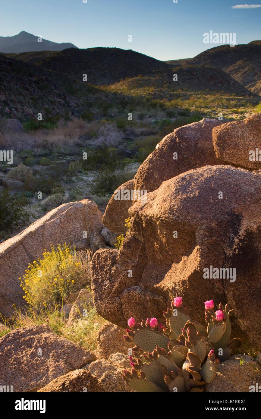 Flores silvestres del desierto incluyendo una Azadilla de cactus en el Cañón del Coyote Anza Borrego Desert Imagen De Stock