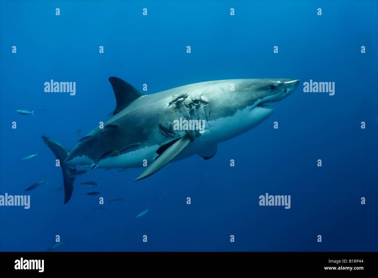 Gran Tiburón Blanco (Carcharodon carcharias), Isla Guadalupe, México, el Pacífico, América del Norte Foto de stock