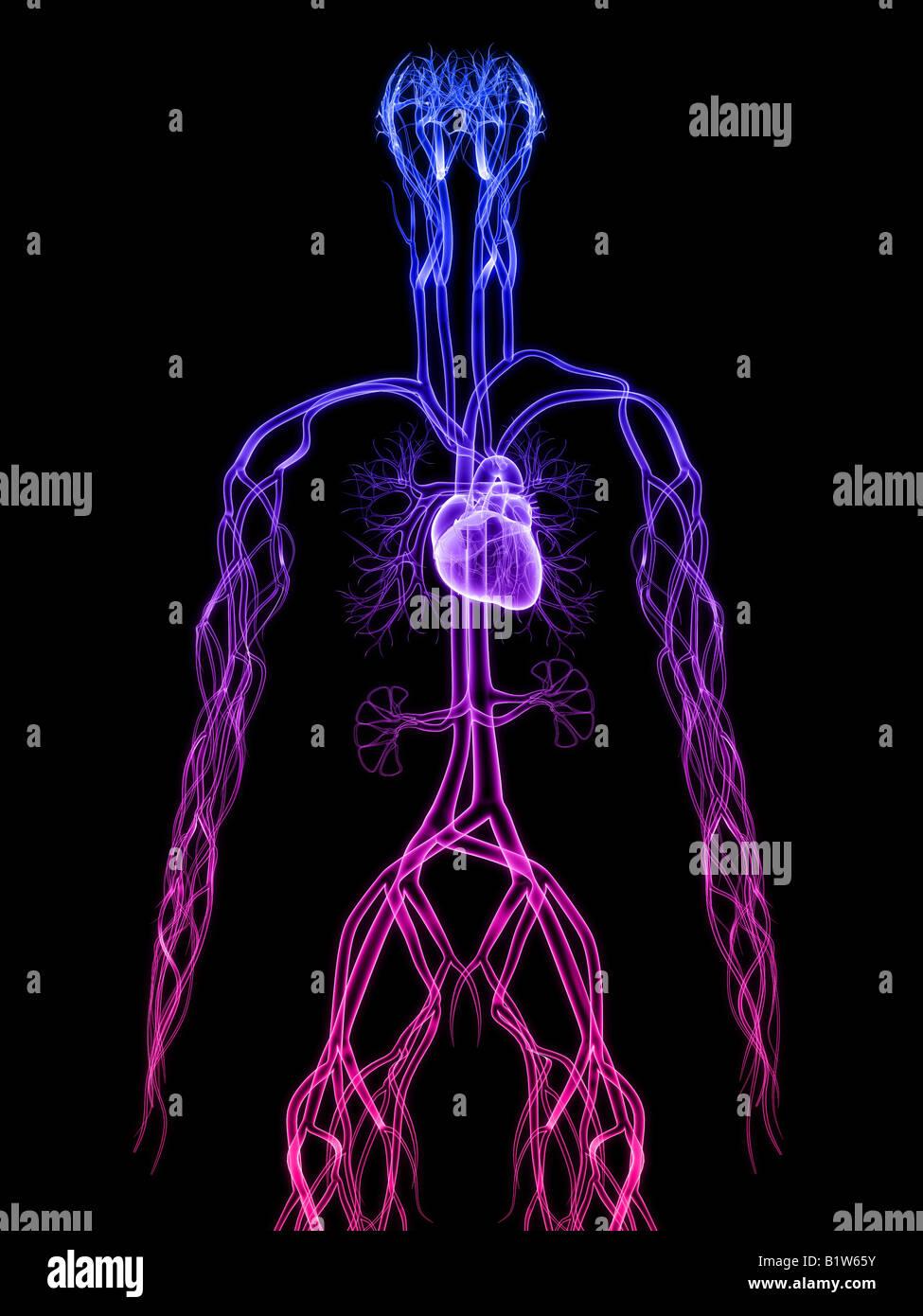 corazón humano Foto & Imagen De Stock: 18378695 - Alamy