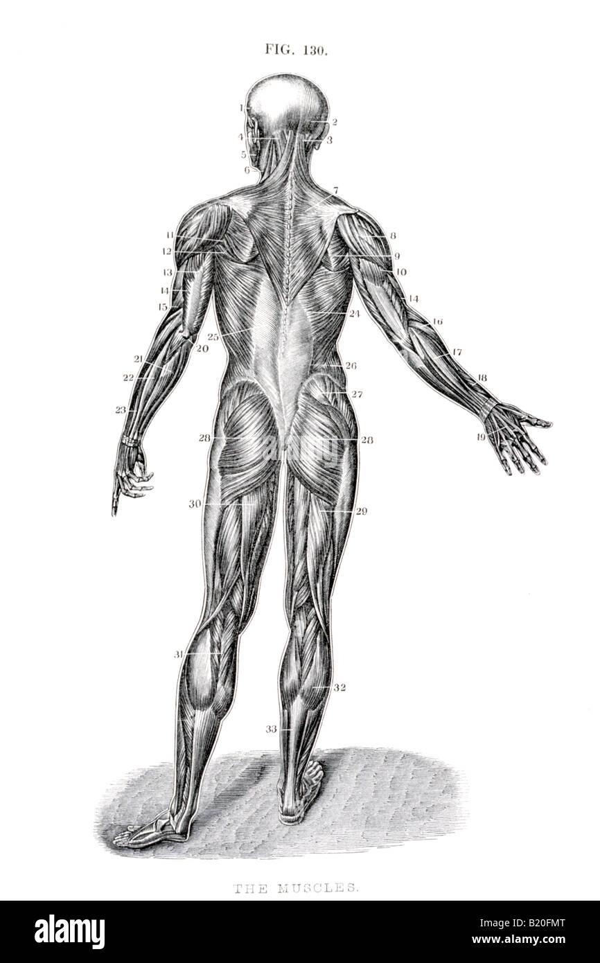 Ilustración los músculos del cuerpo humano VISTA POSTERIOR Foto ...