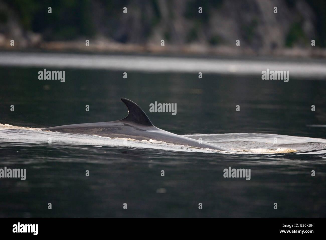 La aleta dorsal de una ballena minke en el río Saguenay. Tadoussac, Quebec. Canadá.El Parque Nacional de Saguenay. Foto de stock