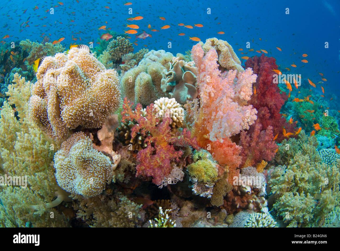 Coral blando rico parche para ser el hogar de muchos animales y peces. Foto de stock