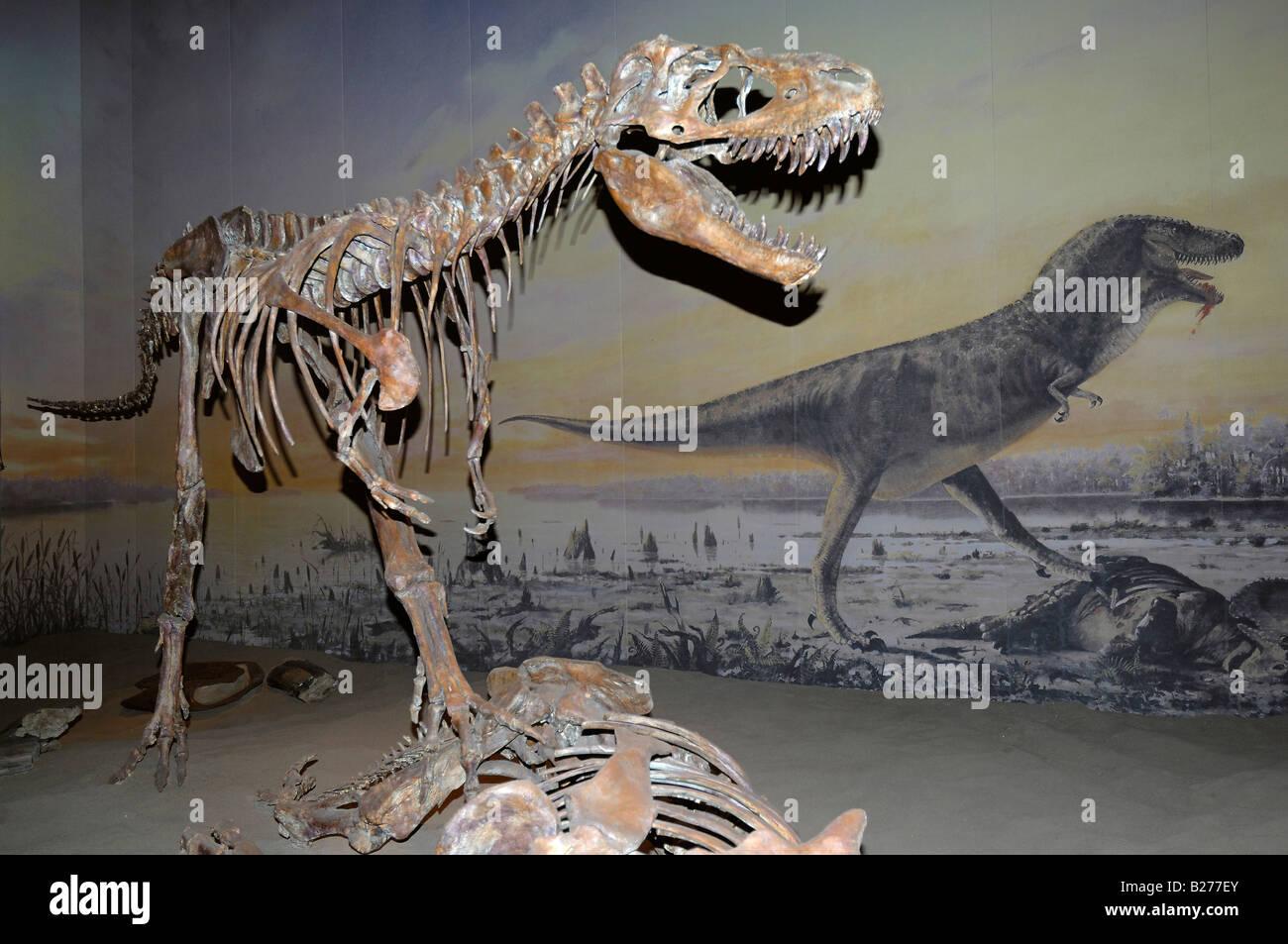Formato horizontal del esqueleto de un dinosaurio Albertosaurus en el Museo Royal Tyrrell en Drumheller, Alberta, Imagen De Stock