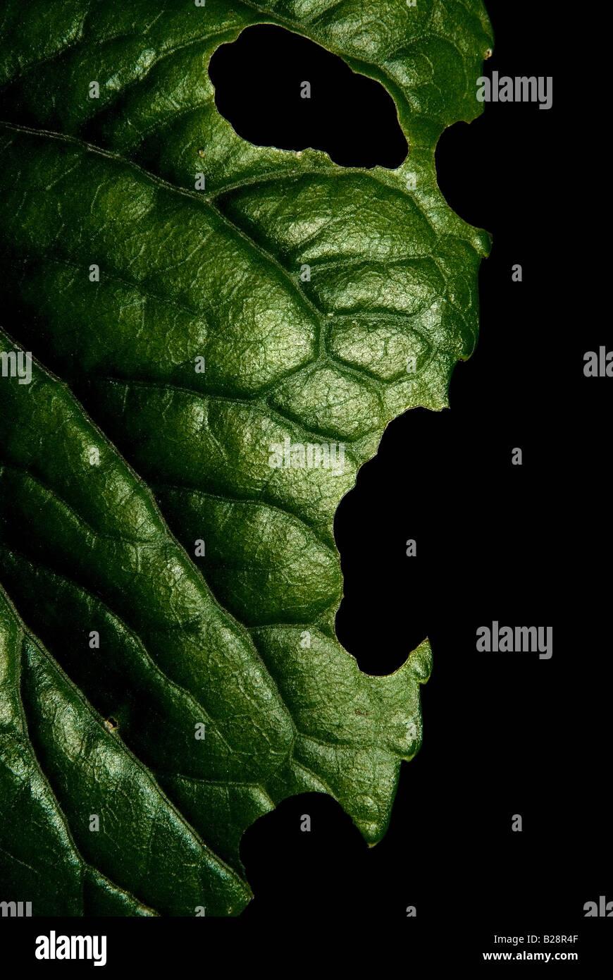 Hoja verde con expresión humana de ira Foto de stock