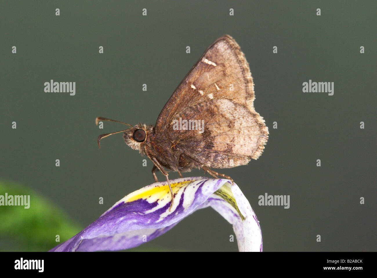 Cloudywing Thorybes mexicana mexicana Foto de stock