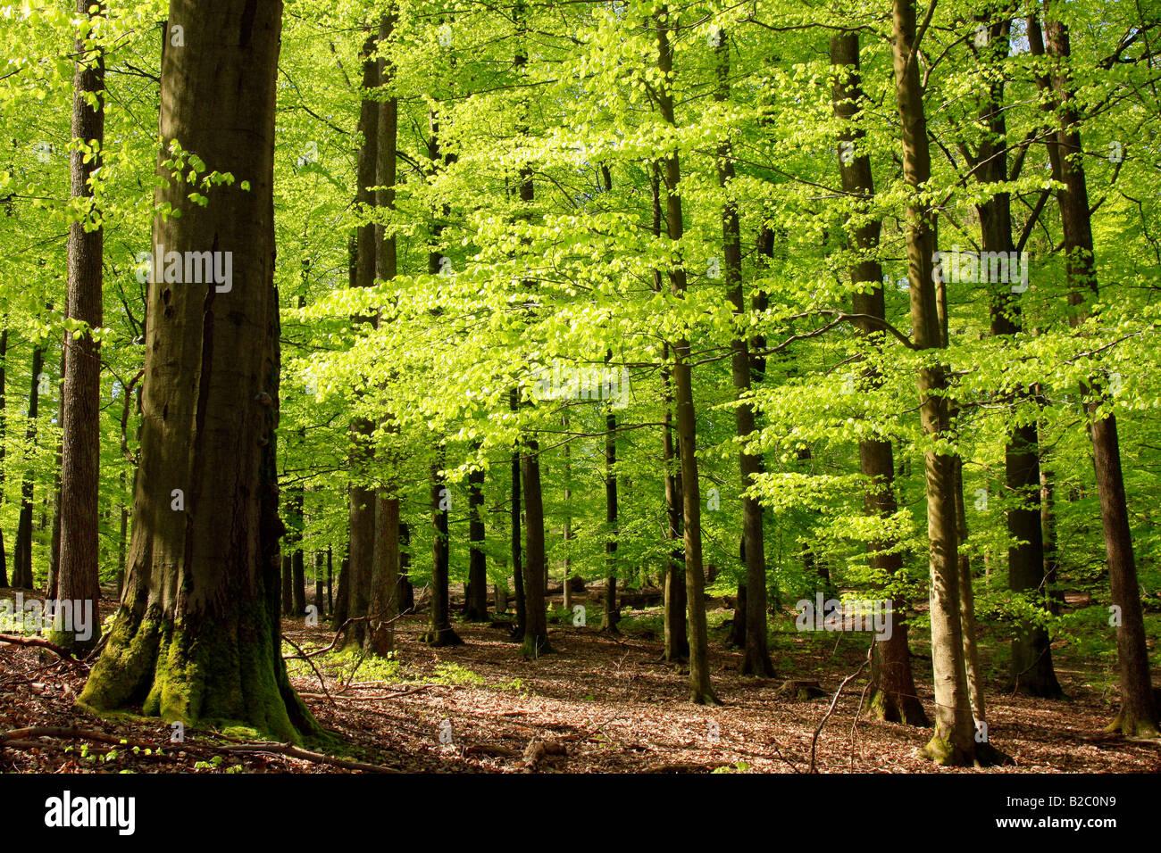 Bosque de hayas en mayo, la primavera Foto de stock