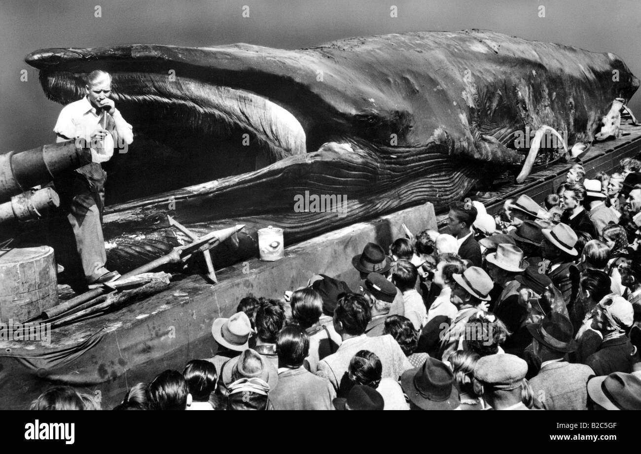 Los espectadores mirando muertos de ballenas con barbas, imagen histórica de alrededor de 1930 Foto de stock