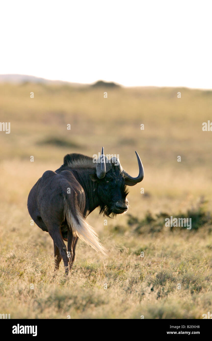 Ñu negro bull mirando hacia atrás sobre su hombro mostrando el penacho blanco largo de cola y cuernos Imagen De Stock