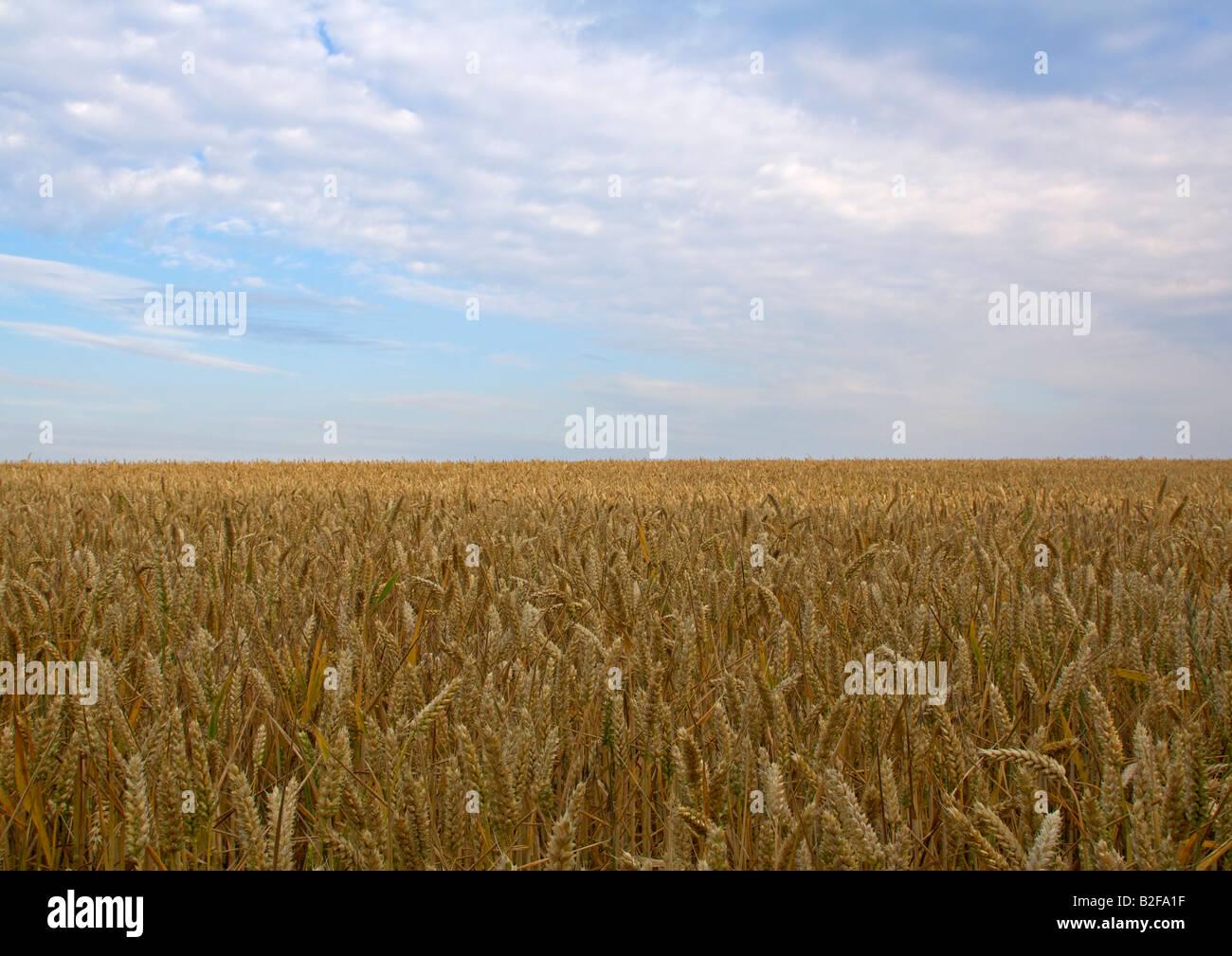 Campo de trigo bajo un cielo azul con nubes blancas Imagen De Stock