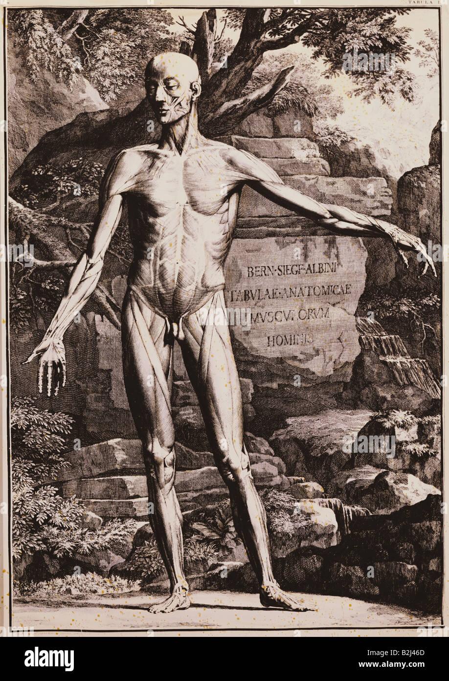 Medicina, anatomía, hombre de pie, grabado en cobre por J., \