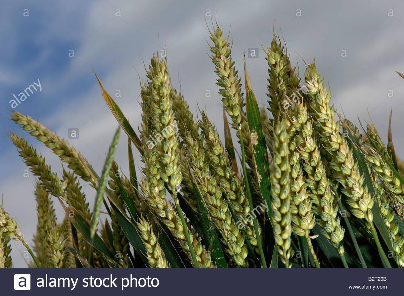 Cultivo de trigo en un campo de Norfolk Imagen De Stock