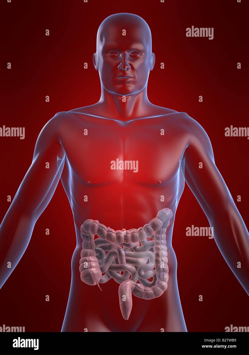 Intestinos humanos Foto & Imagen De Stock: 18986445 - Alamy