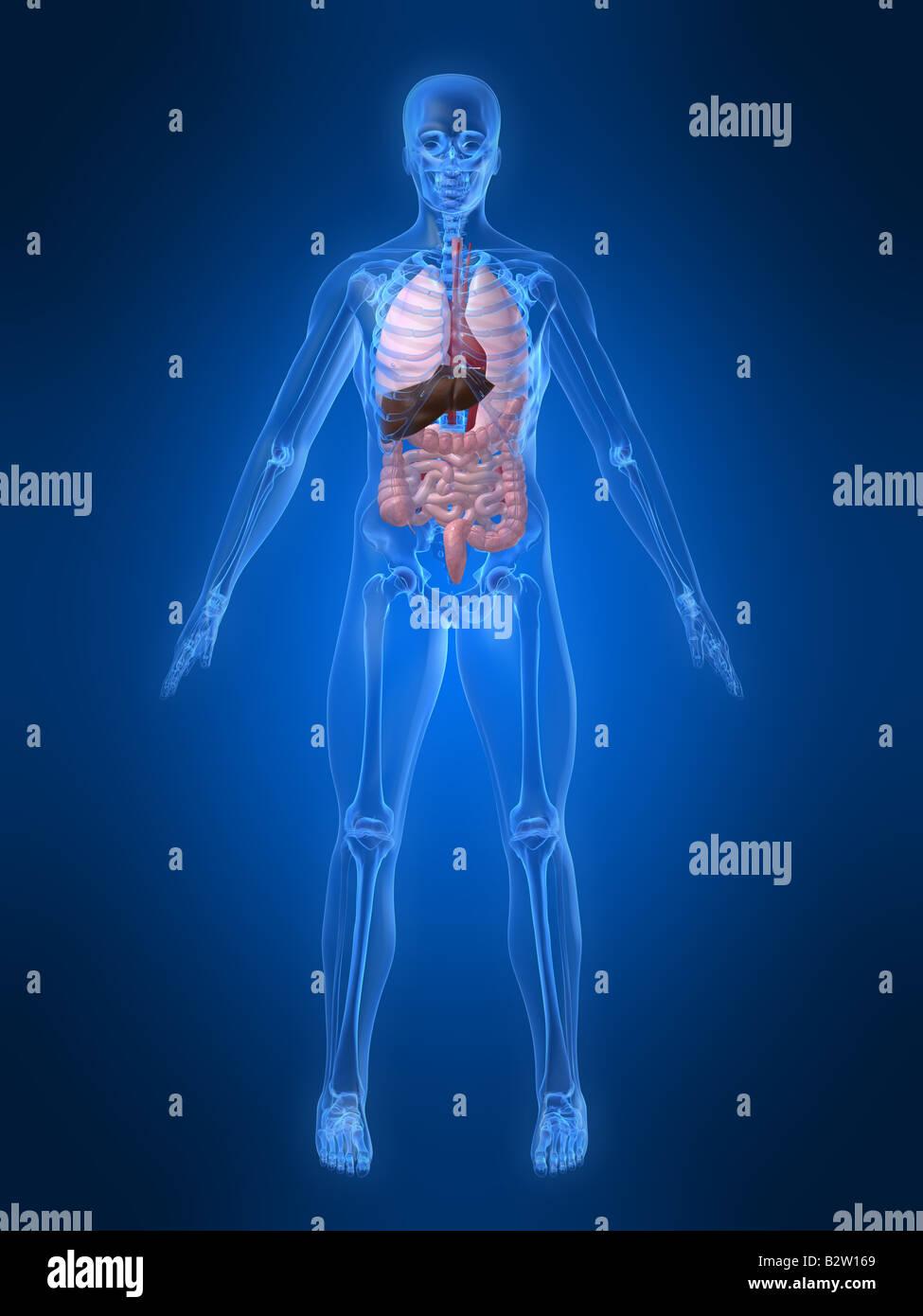 anatomía humana Imagen De Stock