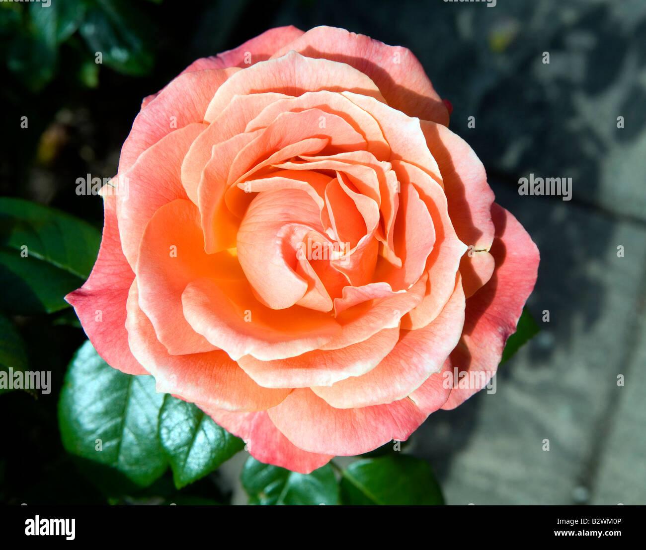 Rosa 'becas Harwelcome' Imagen De Stock