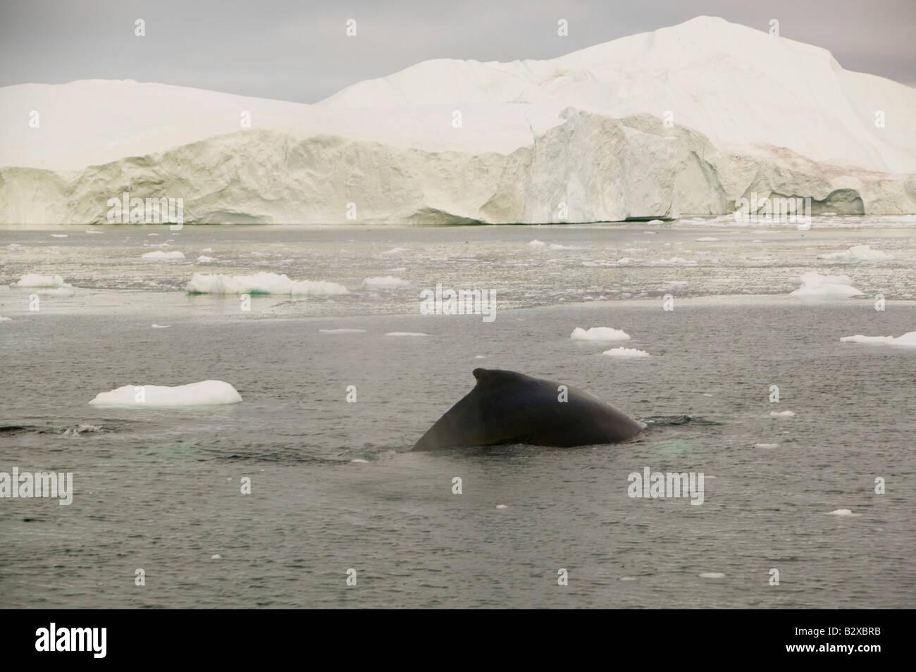 Rorcuales asfaltado entre témpanos de hielo del glaciar Jacobshavn en Ilulissat en Groenlandia Foto de stock