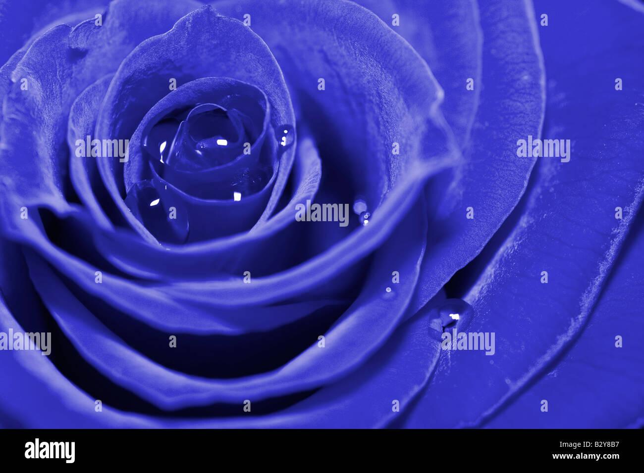 rosa azul Imagen De Stock