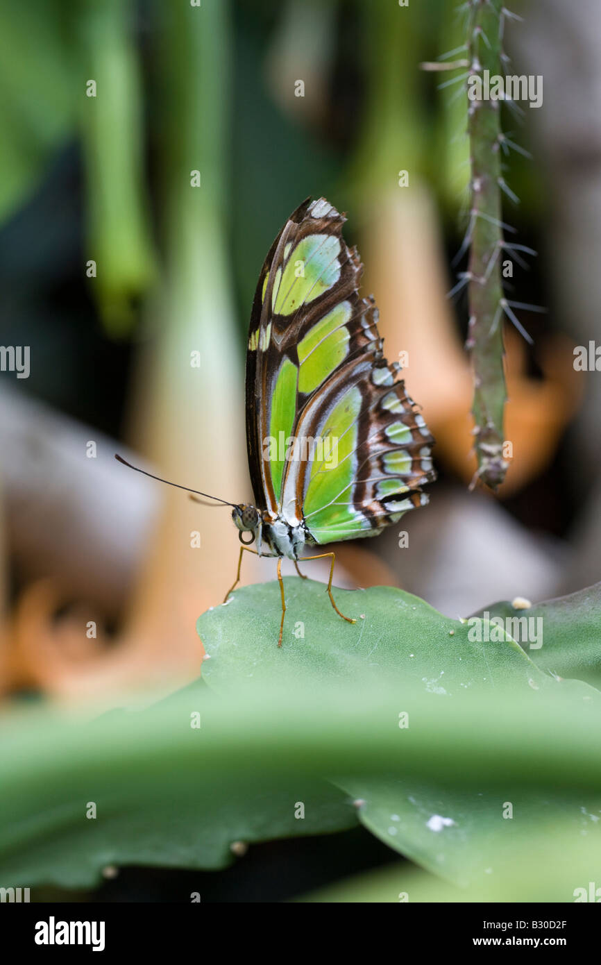 Verde Malaquita Siproetia stelenes mariposa, Victoria Butterfly Gardens, Brentwood Bay, British Columbia, Canadá Foto de stock