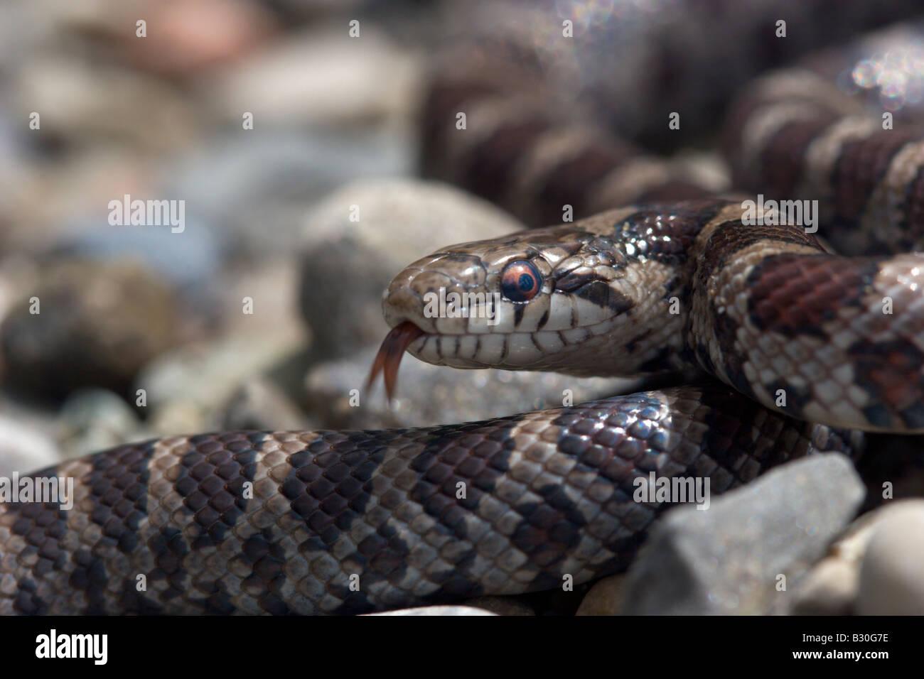 Milk Snake reptil serpiente a sangre fría Imagen De Stock