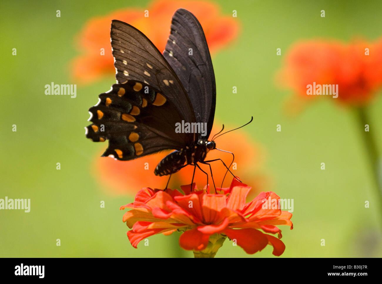 Especie de mariposa Foto de stock