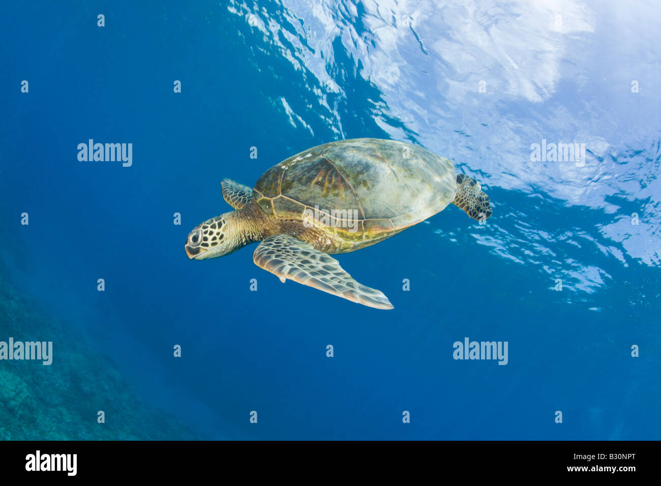 Tortuga verde Chelonia mydas atolón Bikini de las Islas Marshall Micronesia Océano Pacífico Foto de stock