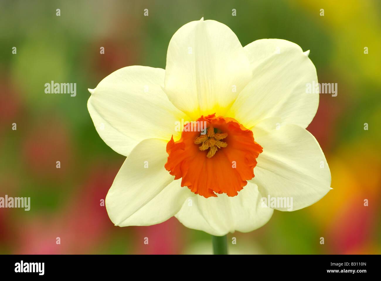Narciso amor sola flor Imagen De Stock