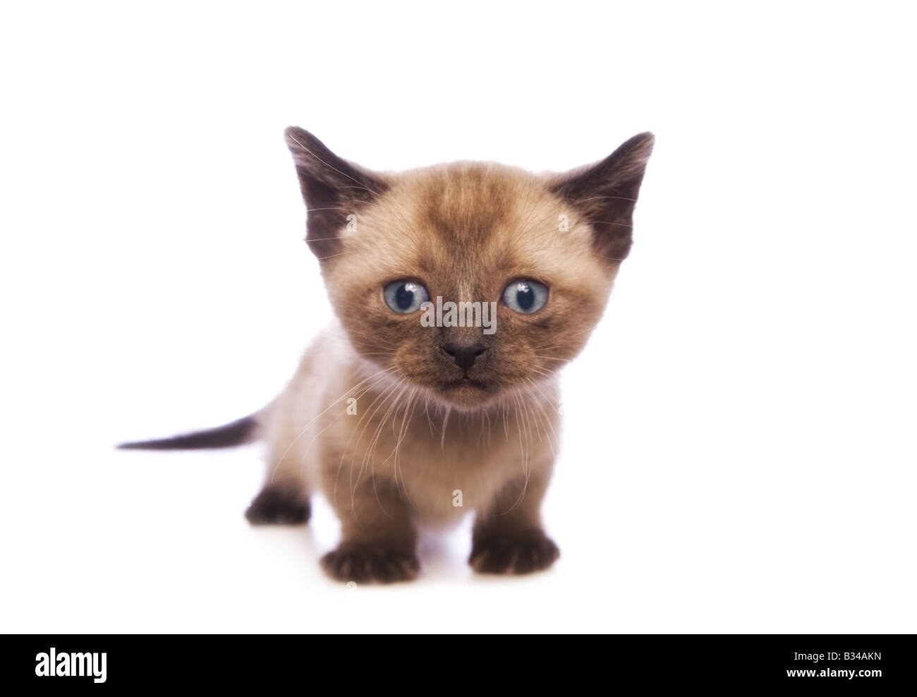 Lindo gatito Munchkin con cabeza grande aislado sobre fondo blanco. Foto de stock
